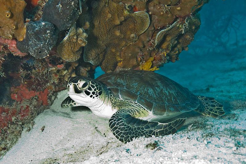 Opening Hawaii Swordfish Fishery Threatens Turtles With Extinction