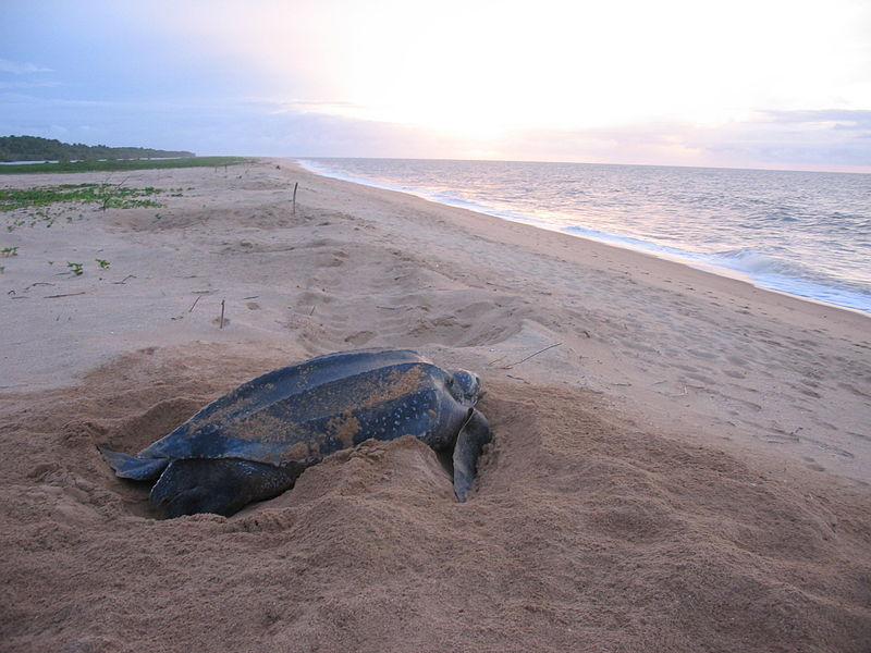 Giant Leatherback Turtle Sighted Off Marin County (CA) Coast