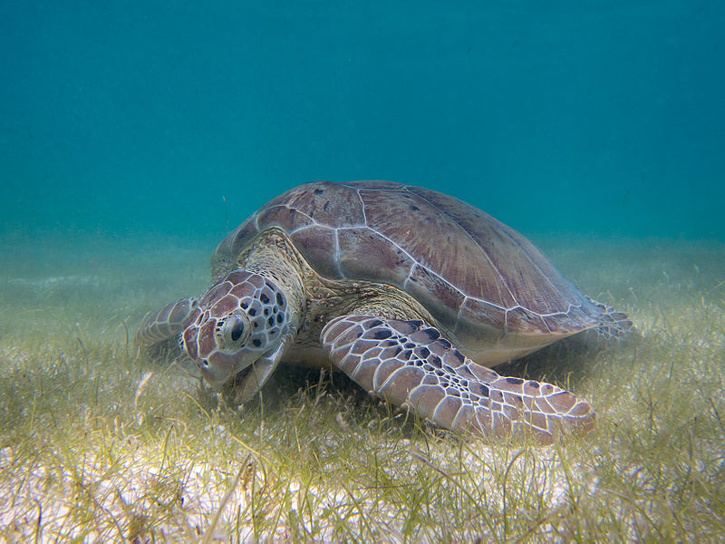 US Commission on Ocean Policy Report Addresses Plight of Endangered Sea Turtles