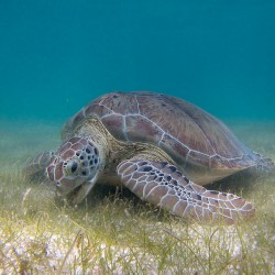 Sea Turtle Grazing