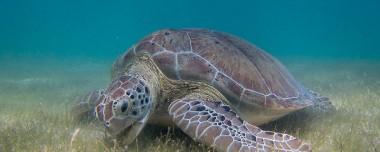 Sea Turtle Grazing