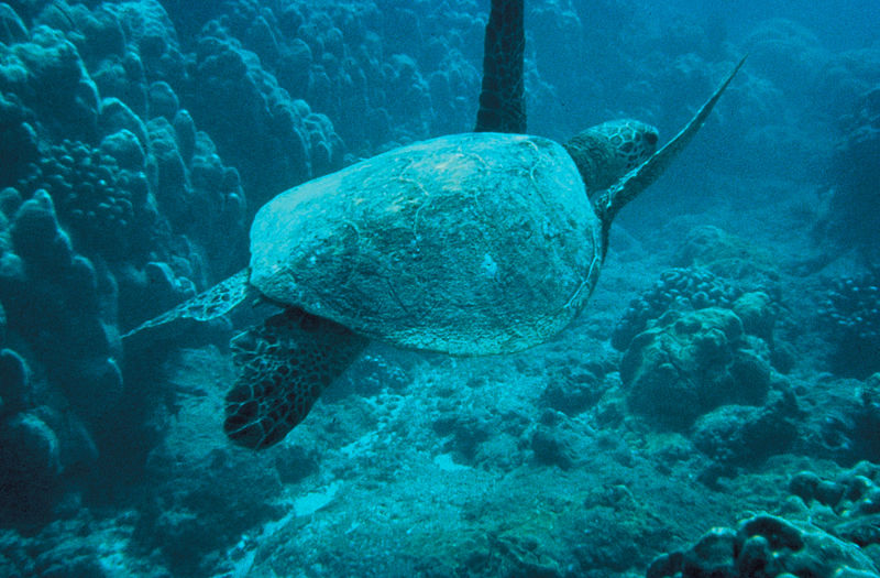 New Study Says Bush Administration Puts Sea Turtles at Risk of Extinction