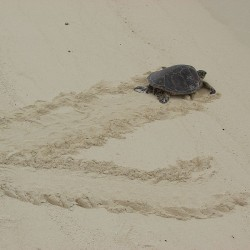 SeaTurtle3-Copyright-ForestKim Starr