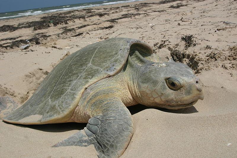 Sea Turtle Crisis Addressed at UN