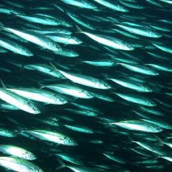FishSchool-NoCopyright