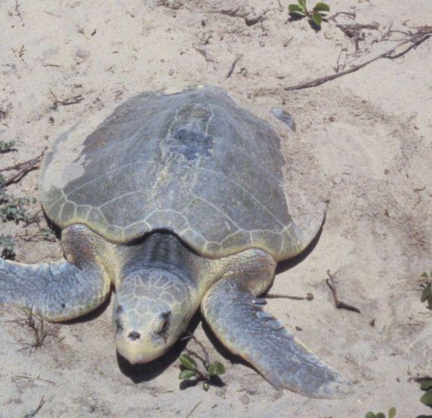 New Sea Turtle Network Initiated on the Southern Nicoya Peninsula, Guanacaste, Costa Rica.