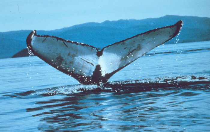 Proposal to Expand California/Oregon Drift Gillnet Fishery Puts Endangered Sea Turtles and Whales at Risk