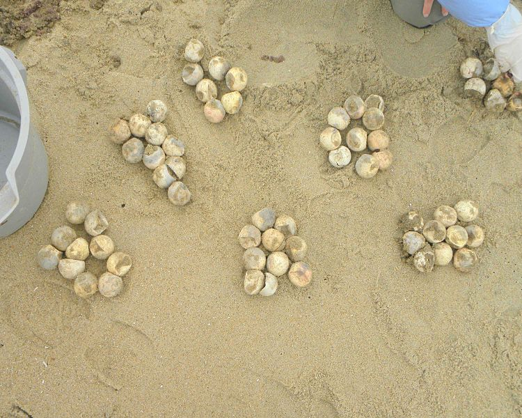 Beach lighting a big problem for sea turtle hatchlings