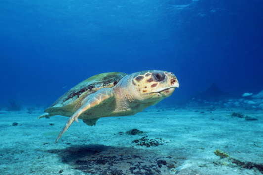 Report: Sea Turtles Vulnerable to Climate Change