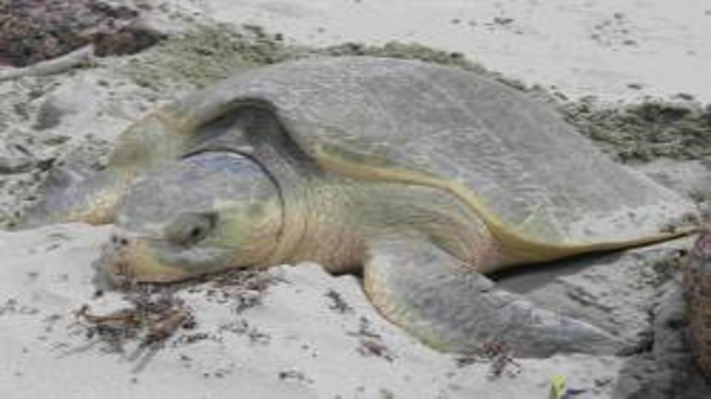 Sea Turtle Public Service Announcement Makes History in Texas