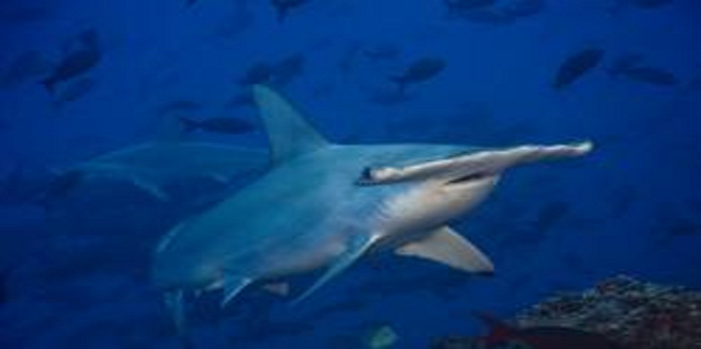 Proposed Bill Would Ensure Sharks are Protected Under Wildlife Laws in Costa Rica