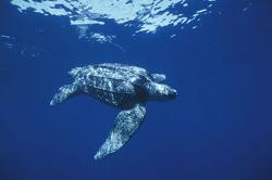 Leatherbacks Gathering off California Coast
