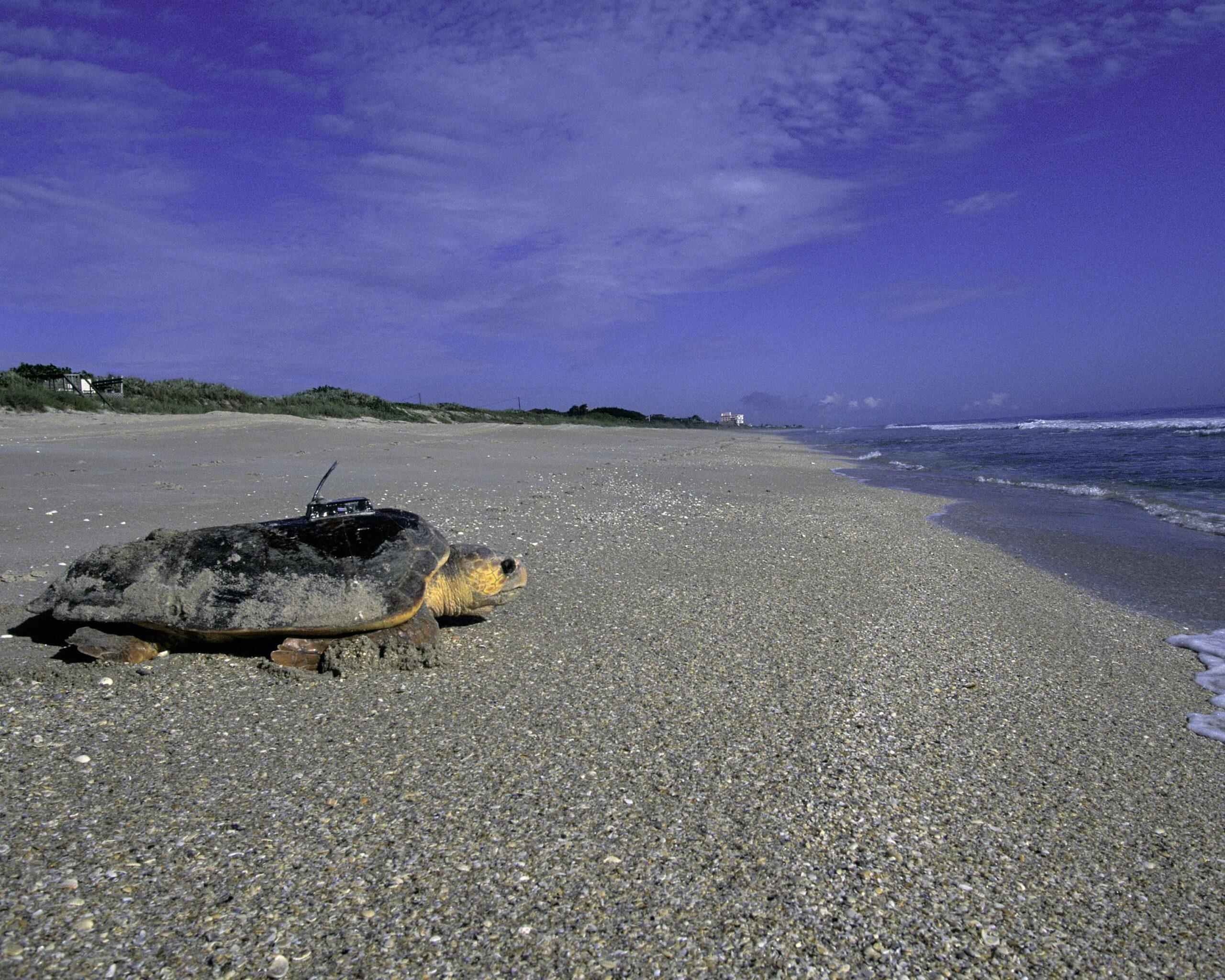 Rare Turtles Gorging on California's Jellyfish Boom