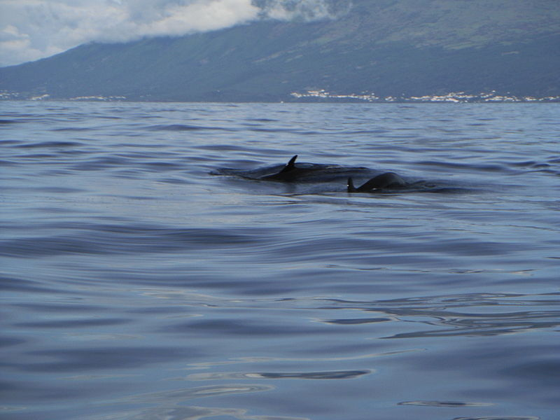 Conservation Groups Sue to Protect False Killer Whales in Hawaii