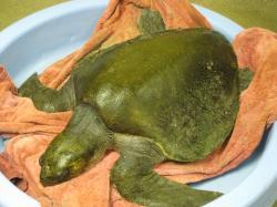 Sea Turtle Washes Up In Stinson Beach