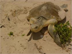 Daily BP Oil Spill Sea Turtle Updates