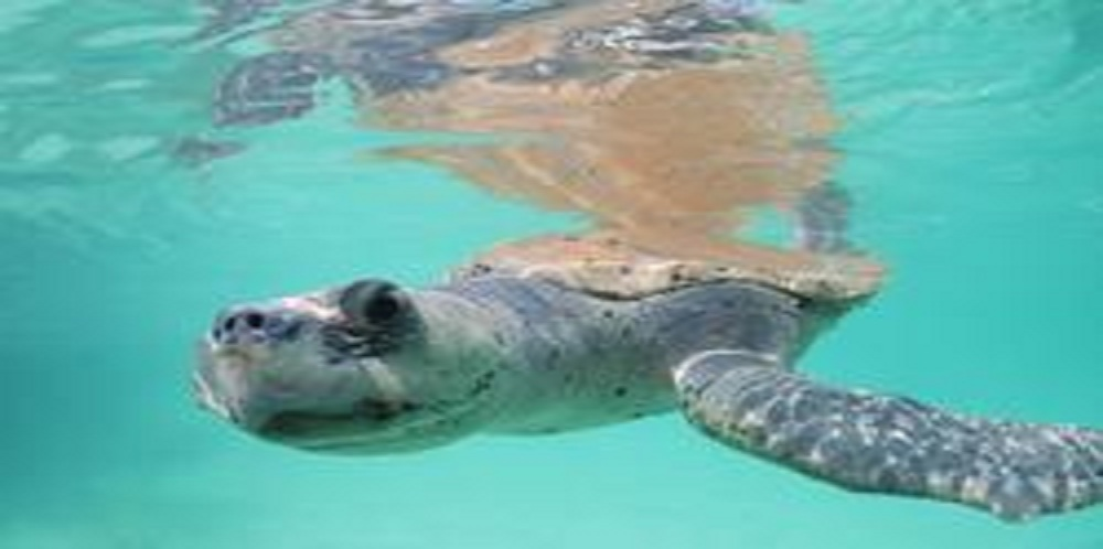 Lawsuit Launched to Force BP to Stop Burning of Sea Turtles Alive