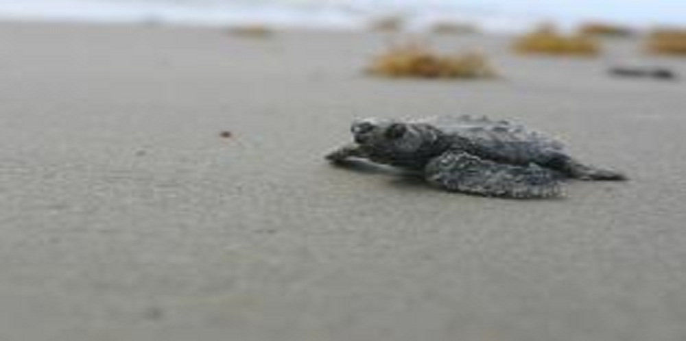 Restraining Order Sought to Stop BP from Burning Turtles