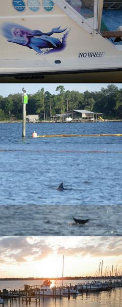 Dolphins Take Refuge from Oil In Perdito Bay, Alabama