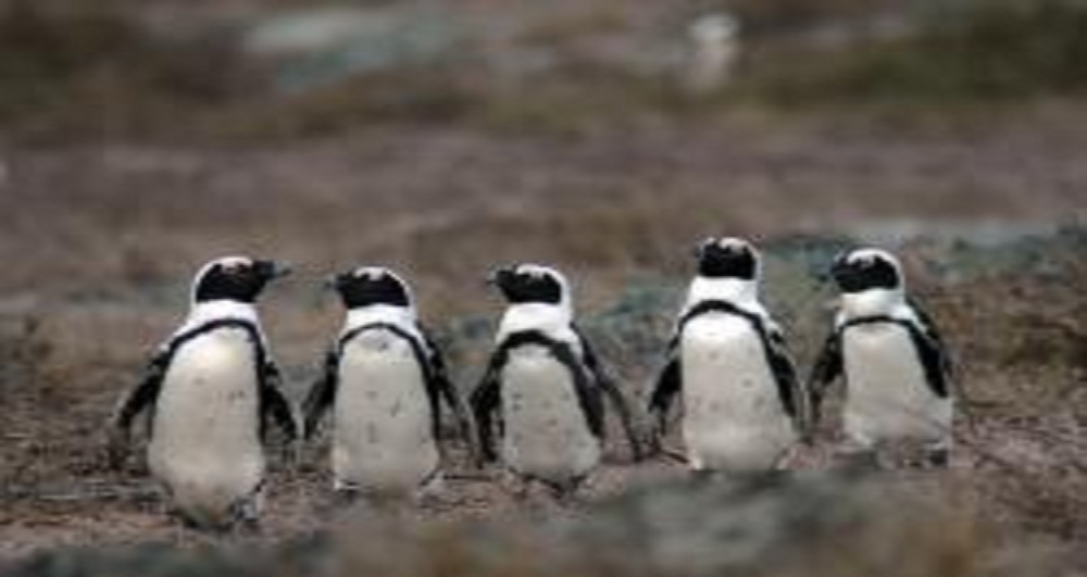 Five Penguins Win U.S. Endangered Species Act Protection