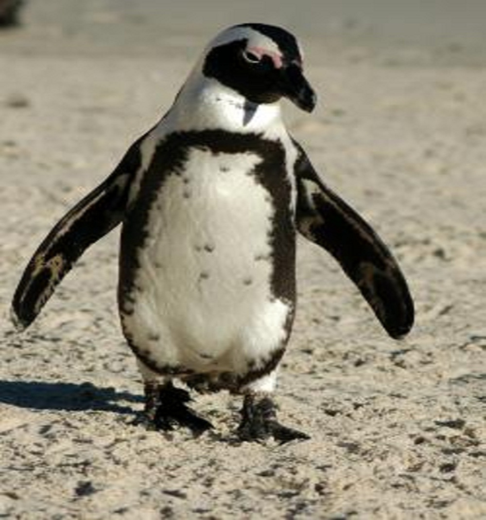 Vanishing African Penguin, Threatened by Climate Change and Fishing, Wins Protections