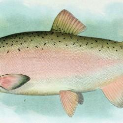 Coho_Salmon_Breeding_Male
