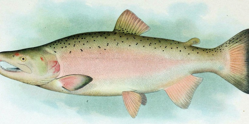 Coho_Salmon_Breeding_Male