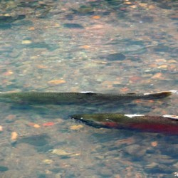 Two_coho_salmon