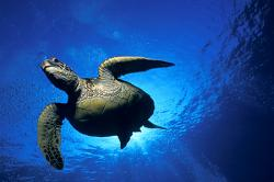 Captive B.C. green turtles must be spared