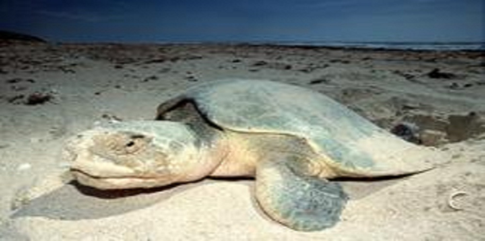 Sea Turtle Advocates Call for Beach Cleanup and Nesting Corrals at Oil Spill Restoration Hearing in Galveston