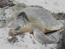Sea Turtle Nesting Time in Texas!