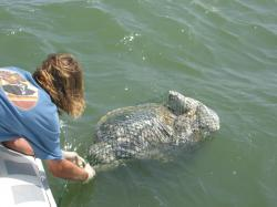 Shrimping worse for turtles than oil spill