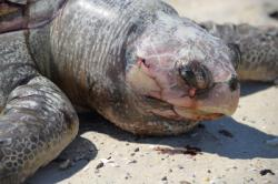 News Coverage: Lawsuit to Halt Sea Turtle Slaughter by Industrial Shrimp Trawling