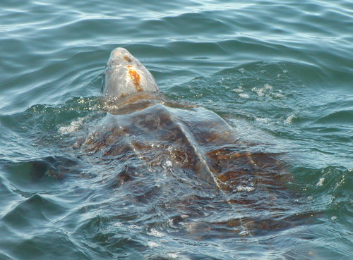Have You Seen This Sea Turtle? Final Leatherback Watch Program Expedition October 23