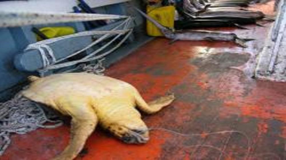 Turtle-deadly Florida Swordfish Fleet Awarded Eco-label