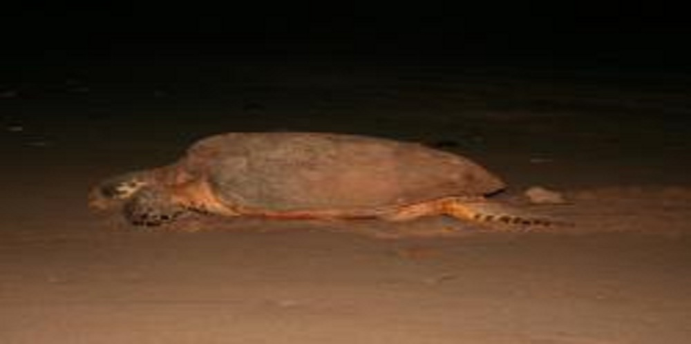 Hawksbill Hybrid Nests in Kimberley at Gas Refinery Site