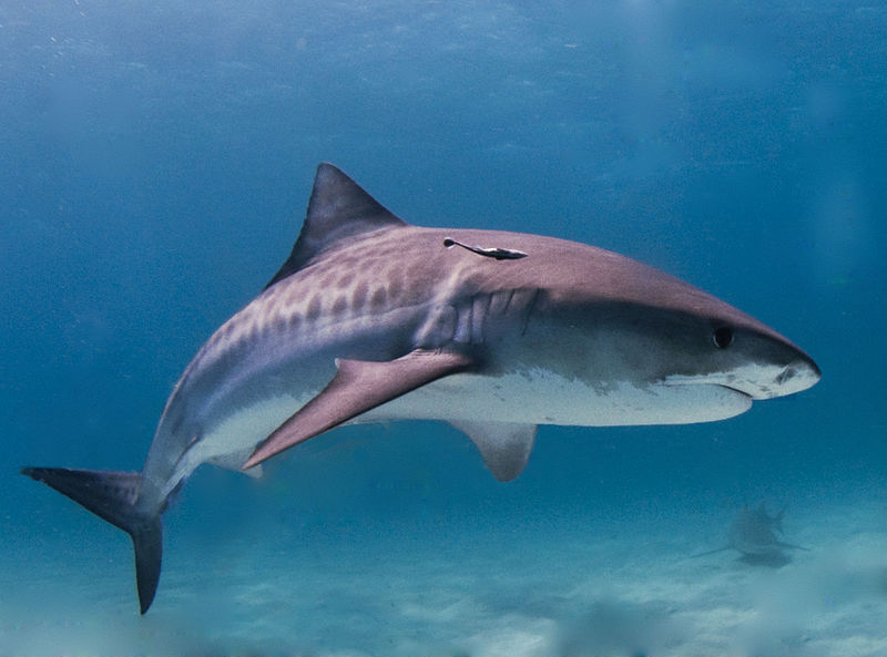 Shark Stewards Launches Shark Protection Campaign in Chicago
