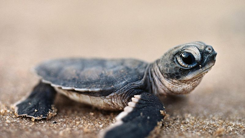 North Carolina First to Tackle New Sea Turtle Protections in Shrimp Fleet