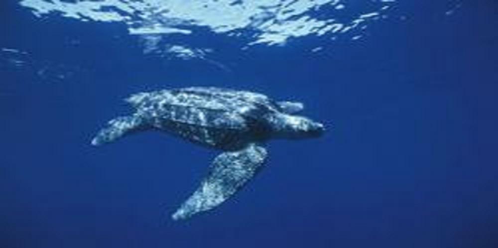 California Senators Give Green Light to Sea Turtle as New State Symbol