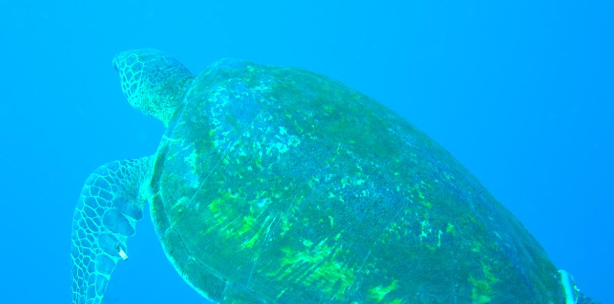 Male Green Turtle Travels from Cocos Island, Costa Rica, to Las Perlas, Panama
