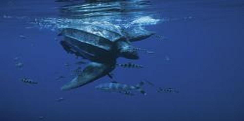California Lawmakers Designate Leatherback Sea Turtle as New State Symbol