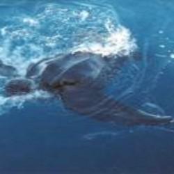 LeatherbackonlineNOAA