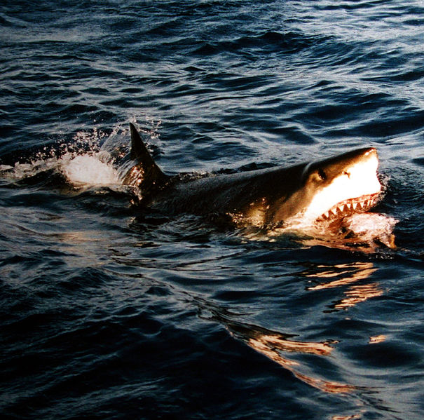 California White Sharks Receive Additional Protection
