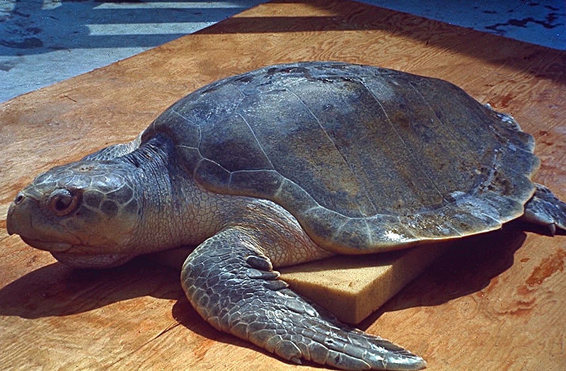 U.S. Trade Sanctions Sought Against Mexico to Stop Mass Killing of Sea Turtles in Baja Fisheries