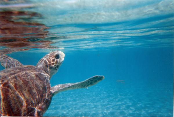 New Protections Promised for Critical Sea Turtle Ocean and Beach Habitat in U.S.