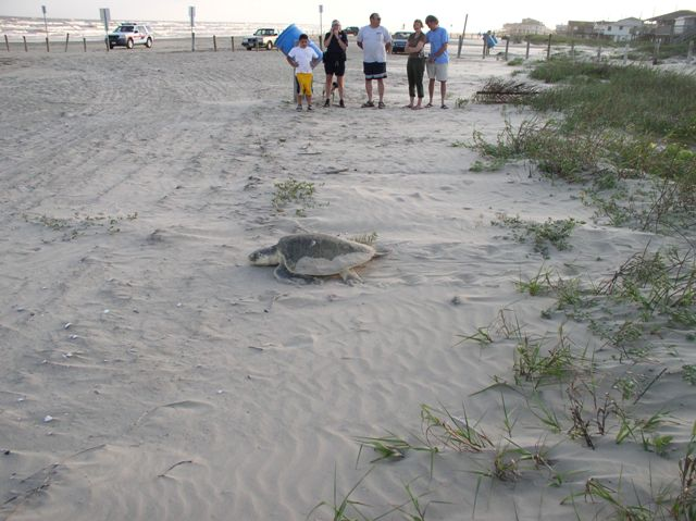 Texas now has an Official State Sea Turtle and Gulf shrimpers are busy killing them!