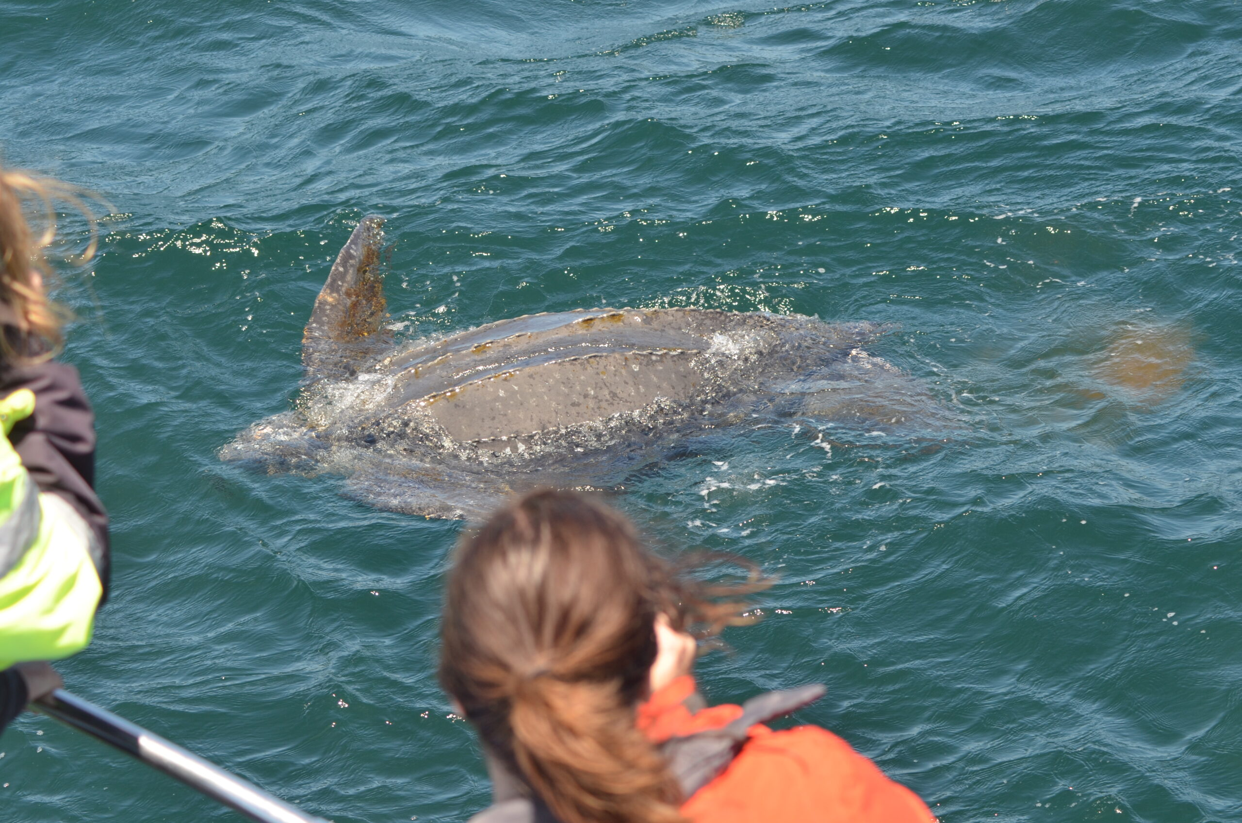 Endangered Leatherback Sea Turtles Sighted in Monterey Bay Sanctuary