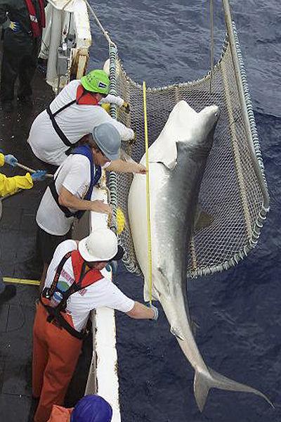 Shark Stewards Opposes Big Game Hunter Killing 1300 Pound Mako Shark