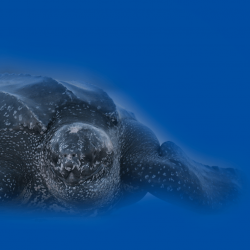 leatherback-coming-on-shore-web-v9