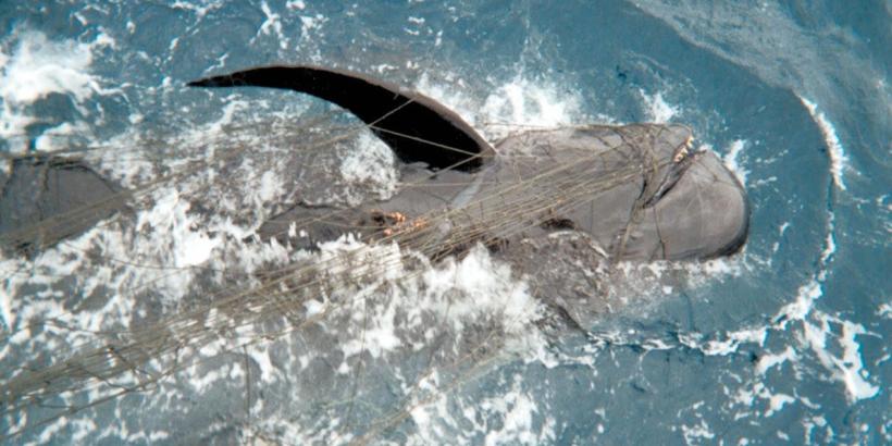 California-Drift-Gillnet-Fishery